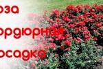 Как посадить бордюрную розу и ухаживать за ней