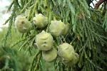 Питомник растений Веди